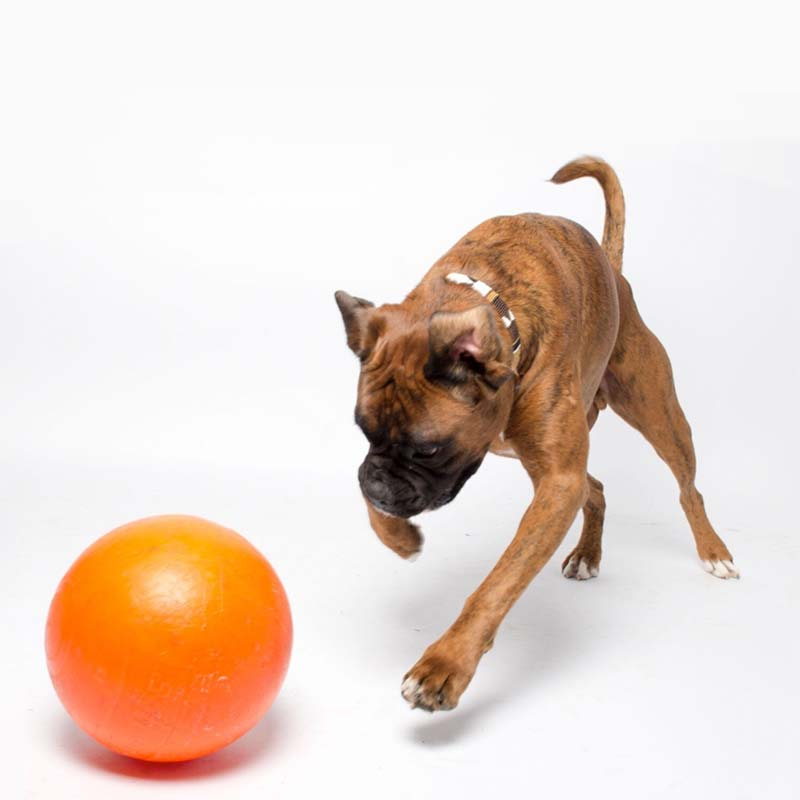 Dog playing with tough staffy ball