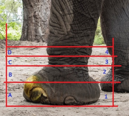 The different measurements of an elephant foot.