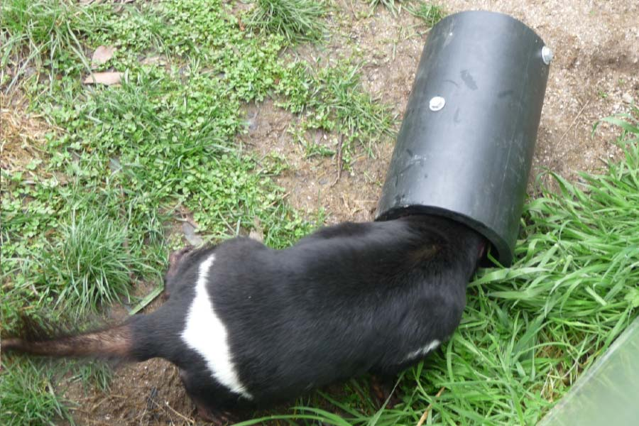Tassie Devil putting head into the tube to obtain food