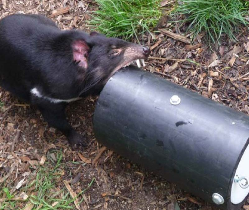 Taming the Wild Tassie Devil with Aussie Dog Enrichment Toys