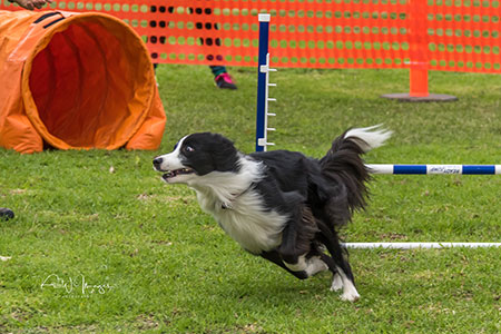 Updog Challenge Border Collie after jump