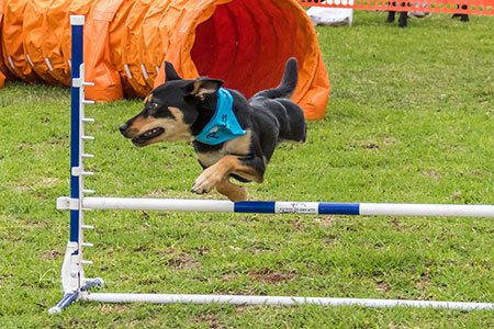 Kelpie dog going over jump in Updog Challenge event