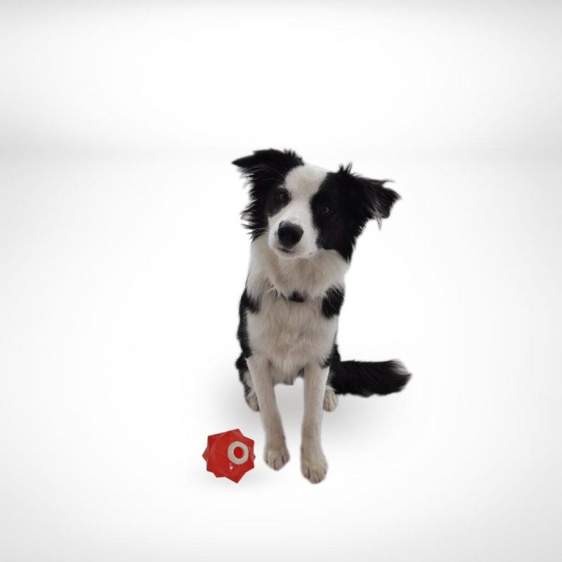 Aussie Dog Products Monster Treat Ball Red with Border Collie puppy