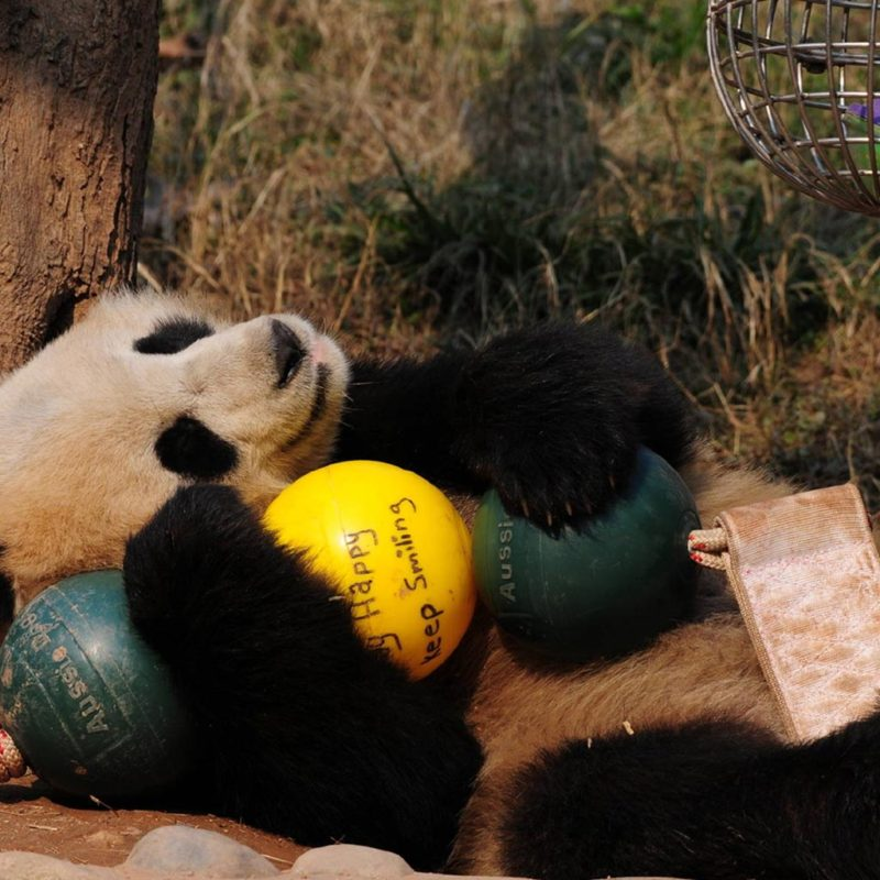Aussie Dog Products Engraved Panda Ball with Qing Qing laying on side