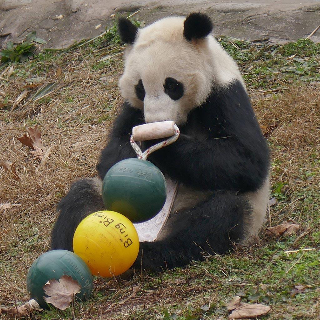 Aussie Dog Products Engraved Engraved Panda Ball with Bing Bing Panda Bear playing