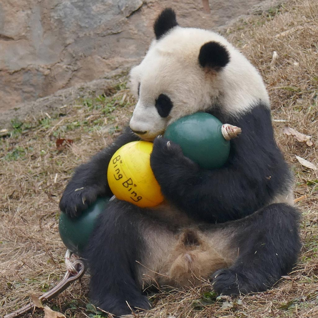 Aussie Dog Products Engraved Panda Ball with Bing Bing Panda Bear playing with yellow ball