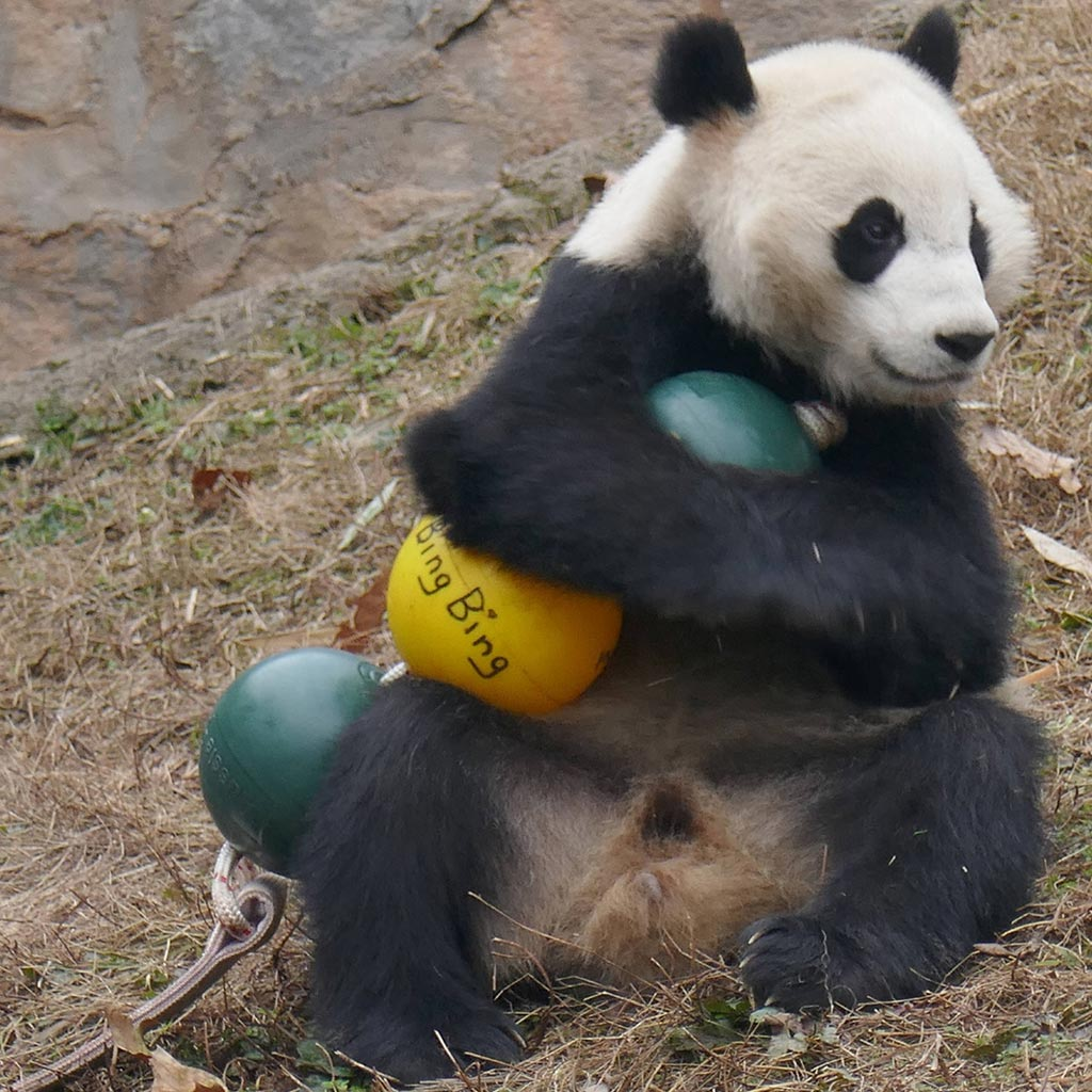 Aussie Dog Products Engraved Panda Ball with Bing Bing playing with balls