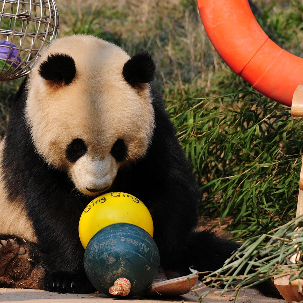 Aussie Dog Products Engraved Panda Ball with Qing Qing sniffing yellow ball