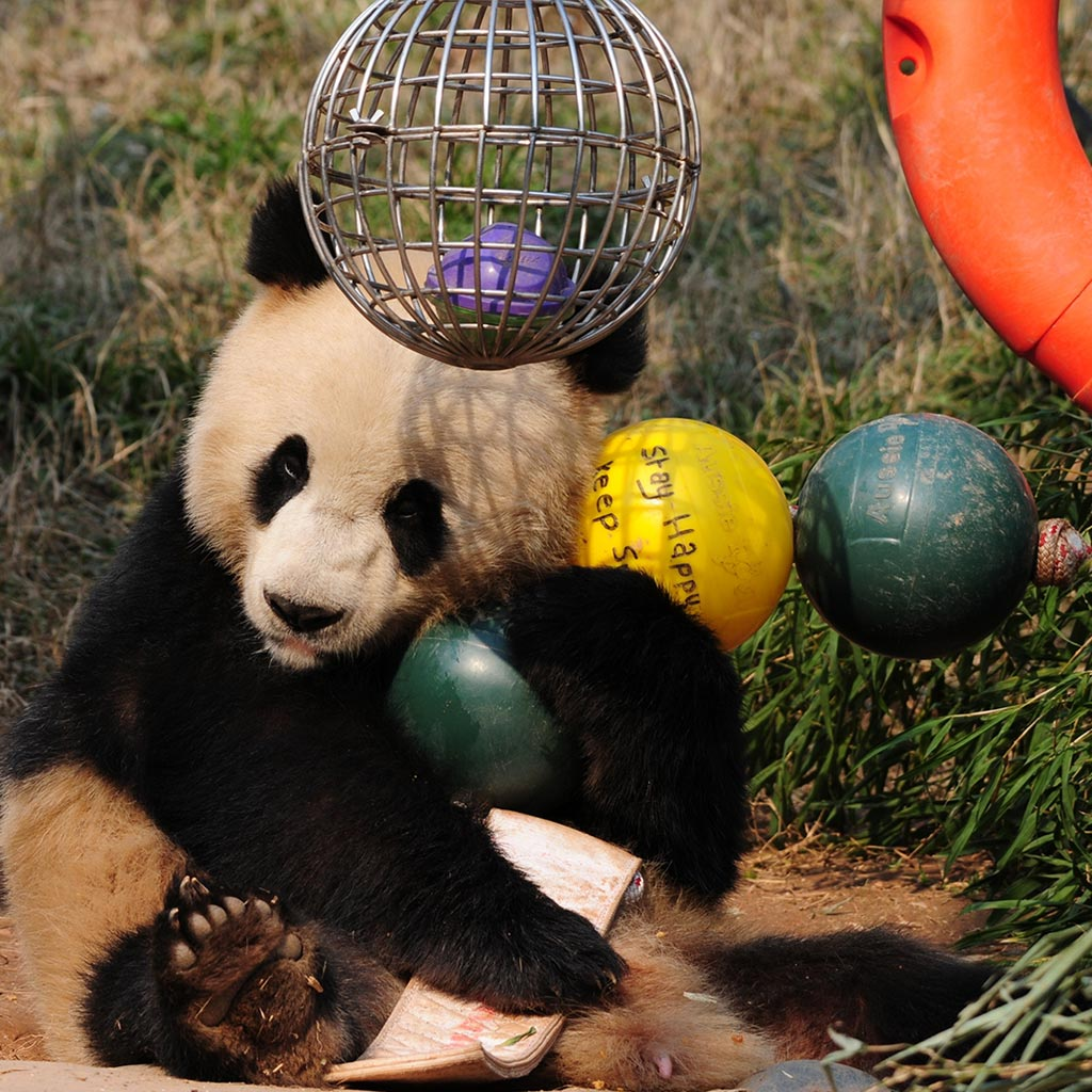 Aussie Dog Products Engraved Panda Ball with Qing Qing playing with ball