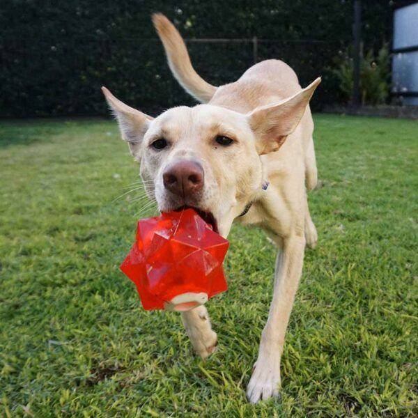 Kelpie throwing an Aussie Dog Products Red Monster Treat Ball to get the treats out