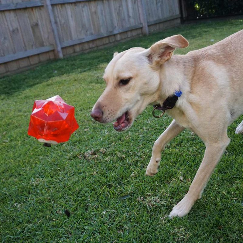Aussie Dog Products Red Monster Treat Ball for dogs with kelpie throwing the ball to get treats out of it
