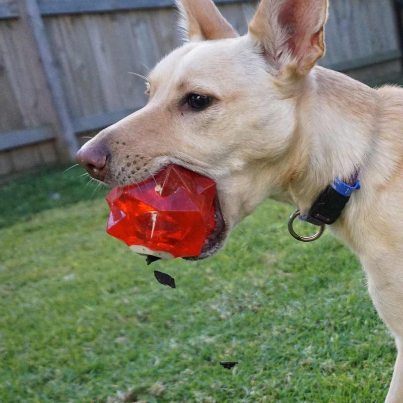 Aussie Dog Products Red Monster Treat Ball for dogs with close up of kelpie shaking out treats
